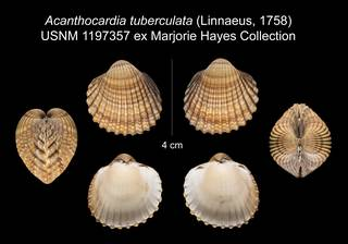 To NMNH Extant Collection (Acanthocardia tuberculata USNM 1197357)