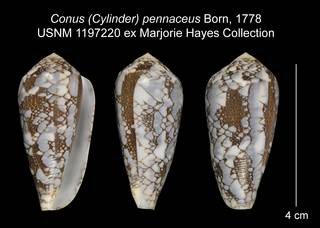 To NMNH Extant Collection (Conus (Cylinder) pennaceus USNM 1197220)