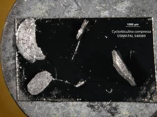 To NMNH Paleobiology Collection (Cyclorbiculina compressa USNM PAL 540089)