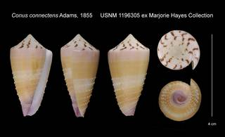 To NMNH Extant Collection (Conus connectens USNM 1196305)