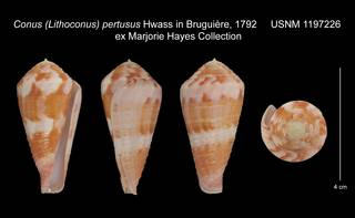 To NMNH Extant Collection (Conus Lithoconus pertusus USNM 1197226)