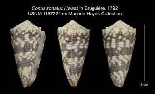 To NMNH Extant Collection (Conus zonatus USNM 1197221)