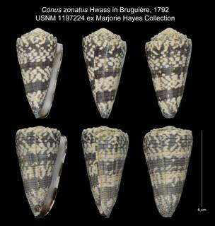 To NMNH Extant Collection (Conus zonatus USNM 1197224)