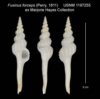 To NMNH Extant Collection (Fusinus forceps USNM 1197255)