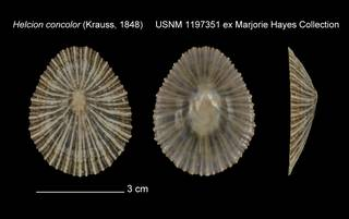 To NMNH Extant Collection (Helcion concolor USNM 1197351)