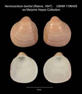 To NMNH Extant Collection (Nemocardium bechei USNM 1196405)