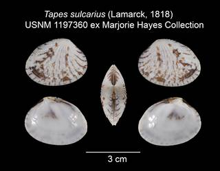 To NMNH Extant Collection (Tapes sulcarius USNM 1197360)
