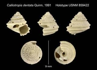 To NMNH Extant Collection (Calliotropis dentata Quinn, 1991 Holotype USNM 859422)