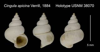 To NMNH Extant Collection (Cingula apicina Verrill, 1884 Holotype USNM 38070)