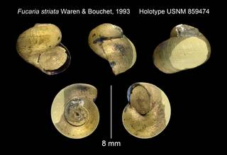 To NMNH Extant Collection (Fucaria striata Waren & Bouchet, 1993 Holotype USNM 859474)
