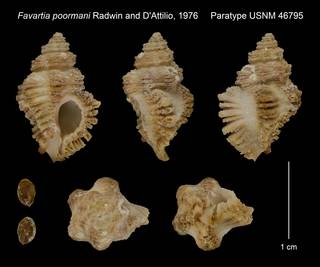 To NMNH Extant Collection (Favartia poormani Radwin and D'Attilio, 1976 Paratype USNM 46795)