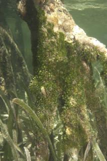 To NMNH Extant Collection (Caulerpa_verticillata_07iii23_07iii23_2.jpg)