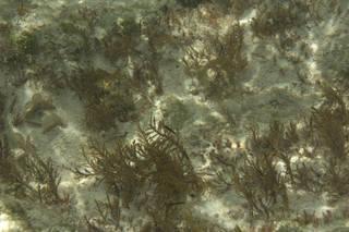 To NMNH Extant Collection (Chnoospora minima 68170.jpg)