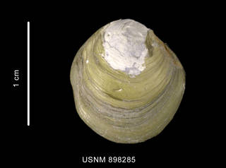 To NMNH Extant Collection (Thyaisra falklandica (Smith, 1885) left valve outer view)