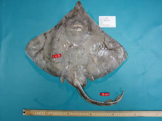 To NMNH Extant Collection (Dipturus laevis USNM 410791 photograph ventral view)