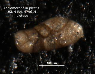 To NMNH Paleobiology Collection (aeolomorphella_plectilis_holo_PAL_479614_2)