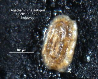 To NMNH Paleobiology Collection (agathammina_antiqua_holo_PR_5228)