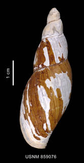 To NMNH Extant Collection (Tractolira germonae Harasewych, 1987shell dorsal view)