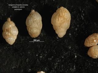To NMNH Paleobiology Collection (Uvigerina hispido-costata cc44510 para on left)