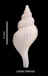 To NMNH Extant Collection (Trophon emilyae Pastorino, 2002 holotype, shell dorsal view)