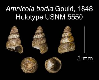 To NMNH Extant Collection (Amnicola badia Gould, 1848 Holotype USNM 5550)