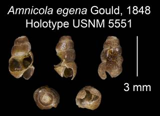 To NMNH Extant Collection (Amnicola egena Gould, 1848 Holotype USNM 5551)