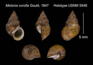 To NMNH Extant Collection (Melania corolla Gould, 1847 Holotype USNM 5549)