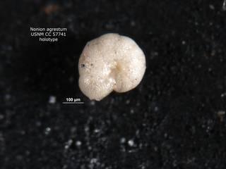 To NMNH Paleobiology Collection (nonion_agrestum_cc_57741_holo2)