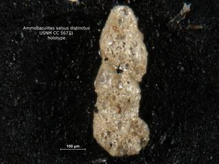 To NMNH Paleobiology Collection (ammobaculites_salsus_distinctus_holo_CC_56771)