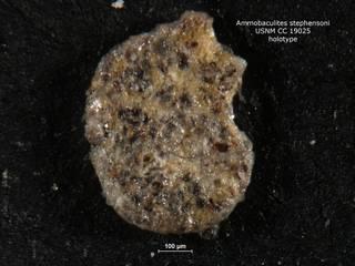 To NMNH Paleobiology Collection (ammobaculites_stephensoni_holo_CC_19025)
