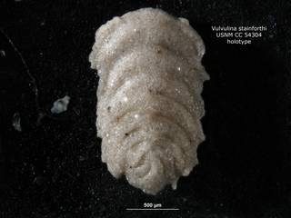 To NMNH Paleobiology Collection (Vulvulina stainforthi CC54304 holo)