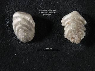 To NMNH Paleobiology Collection (Vulvulina jablonskii USNM689176 para 1)
