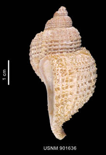 To NMNH Extant Collection (Trophon echinolamellatus Powell, 1951 shell lateral view)