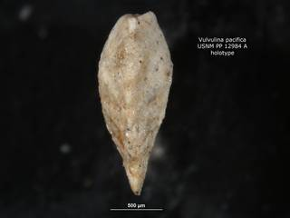 To NMNH Paleobiology Collection (Vulvulina pacifica PP12984a holo 2)