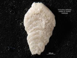 To NMNH Paleobiology Collection (Vulvulina vallensis CC62492 holo 1)