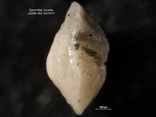 To NMNH Paleobiology Collection (Eponides lunata USNM MO 547477 v2)