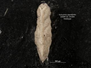 To NMNH Paleobiology Collection (Vulvulina stainforthi CC54304 holo 2)
