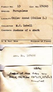 To NMNH Extant Collection (Paragaleus USNM 176565)