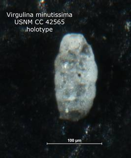 To NMNH Paleobiology Collection (Virgulina minutissima CC 42565 holo)