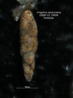 To NMNH Paleobiology Collection (Virgulina navarroana CC 19050 holo)