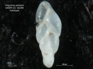 To NMNH Paleobiology Collection (Virgulina pontoni CC16298 holo)