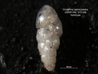 To NMNH Paleobiology Collection (Virgulina spinicostata PAL 372166 holo)