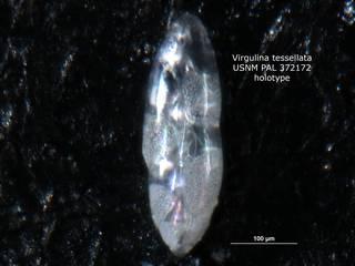 To NMNH Paleobiology Collection (Virgulina tessellata PAL372172 holo 1)