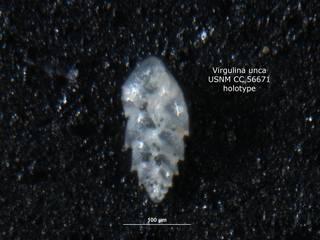 To NMNH Paleobiology Collection (Virgulina unca CC56671 holo 1)