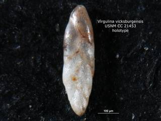 To NMNH Paleobiology Collection (Virgulina vicksburgensis CC21453 holo 1)