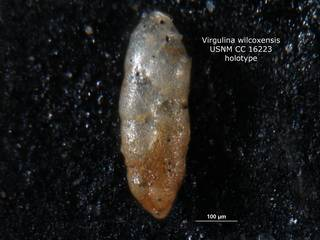 To NMNH Paleobiology Collection (Virgulina wilcoxensis CC16223 holo 1)