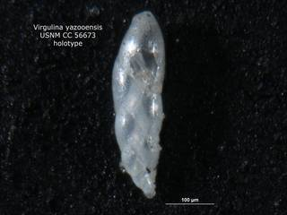 To NMNH Paleobiology Collection (Virgulina yazooensis CC56673 holo 1)