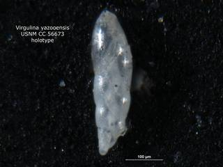 To NMNH Paleobiology Collection (Virgulina yazooensis CC56673 holo 2)