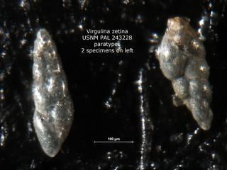 To NMNH Paleobiology Collection (Virgulina zetina PAL 243228 para left)