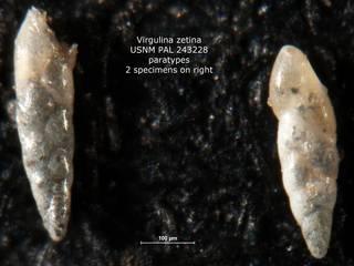 To NMNH Paleobiology Collection (Virgulina zetina PAL 243228 para rt)